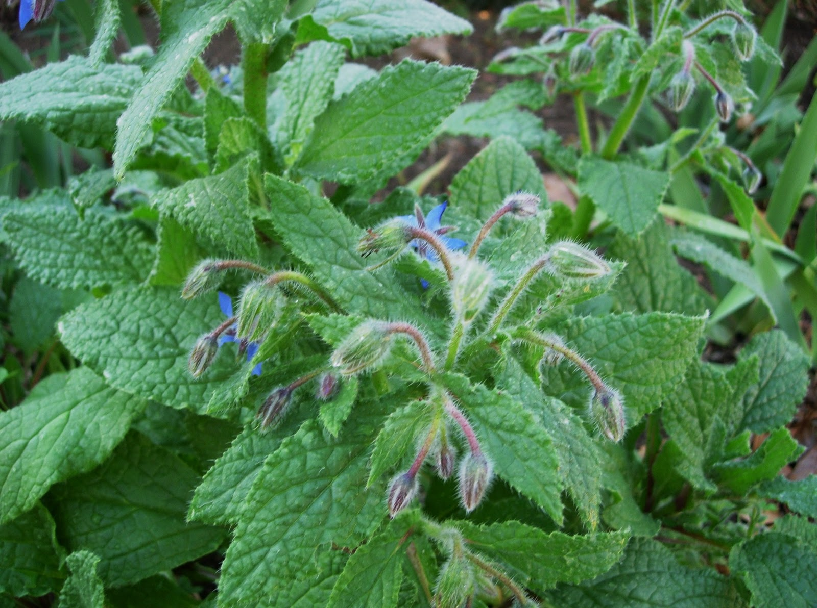 Borage buerre blanc frozbroz for Garden plants